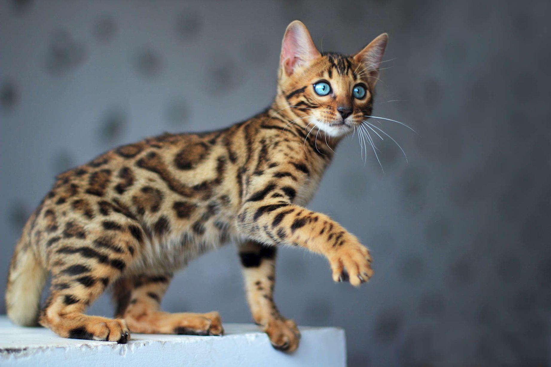 каша картинки леопардового кота при данной