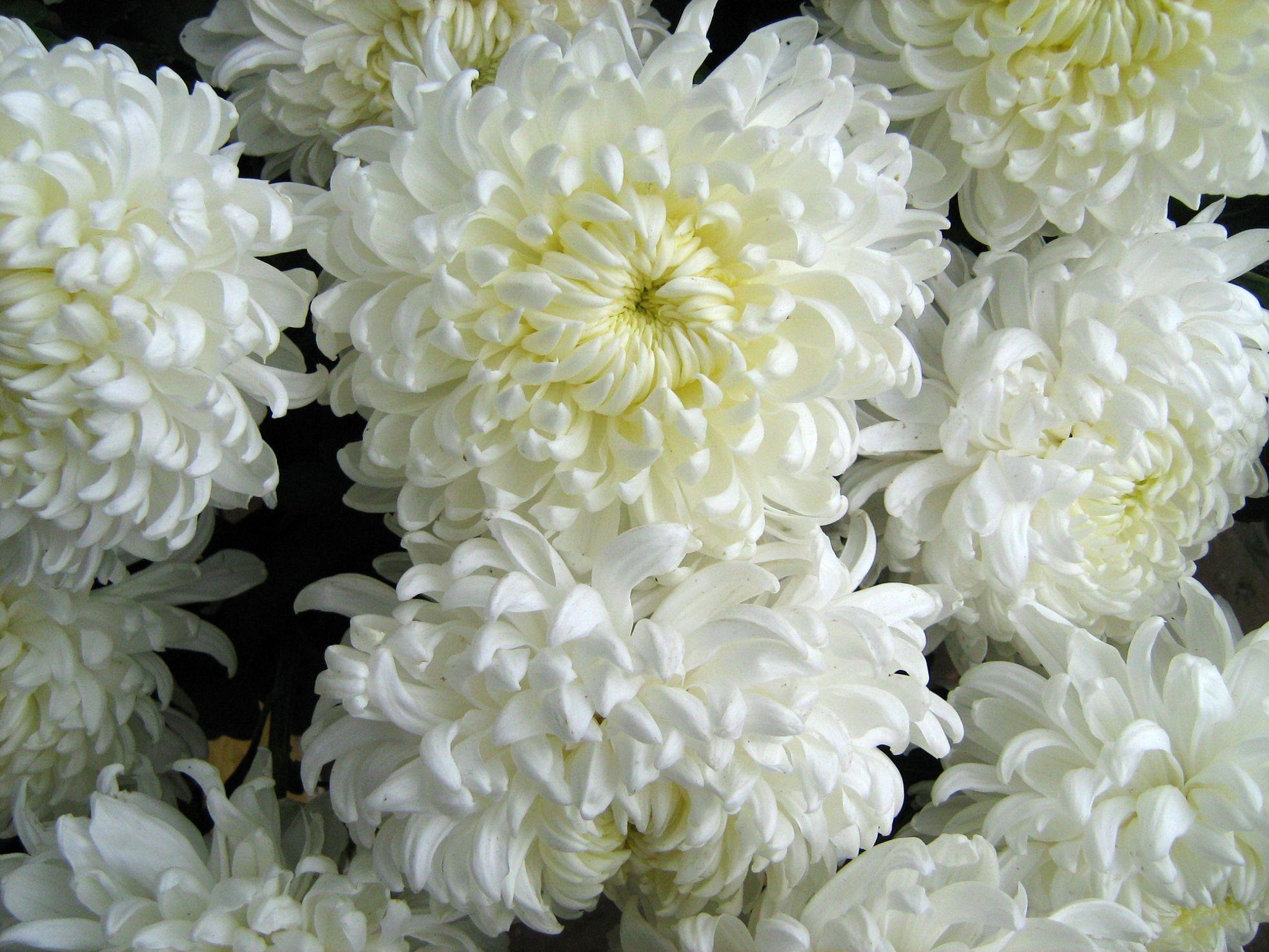 цитата одно фото хризантемы фотографии хризантем победы над
