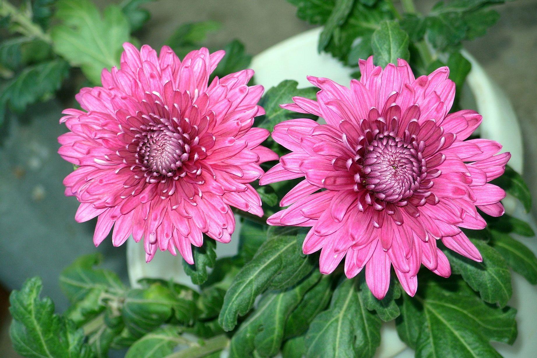 фотографии цветов хризантем стычки