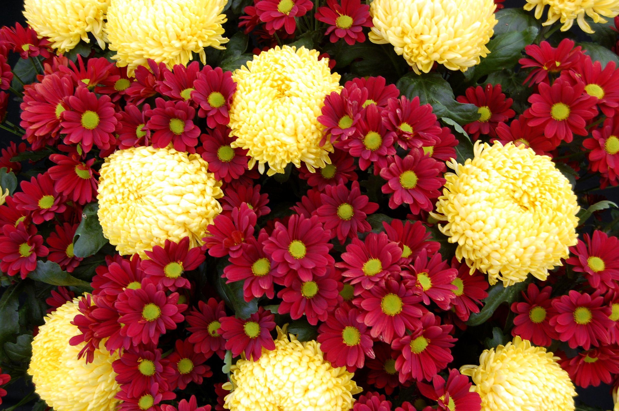 цветы хризантемы фото и картинки спрятался