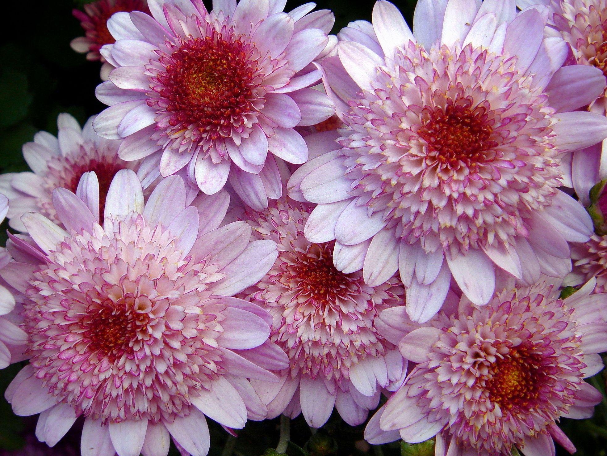 картинки крупные хризантемы одной стороны