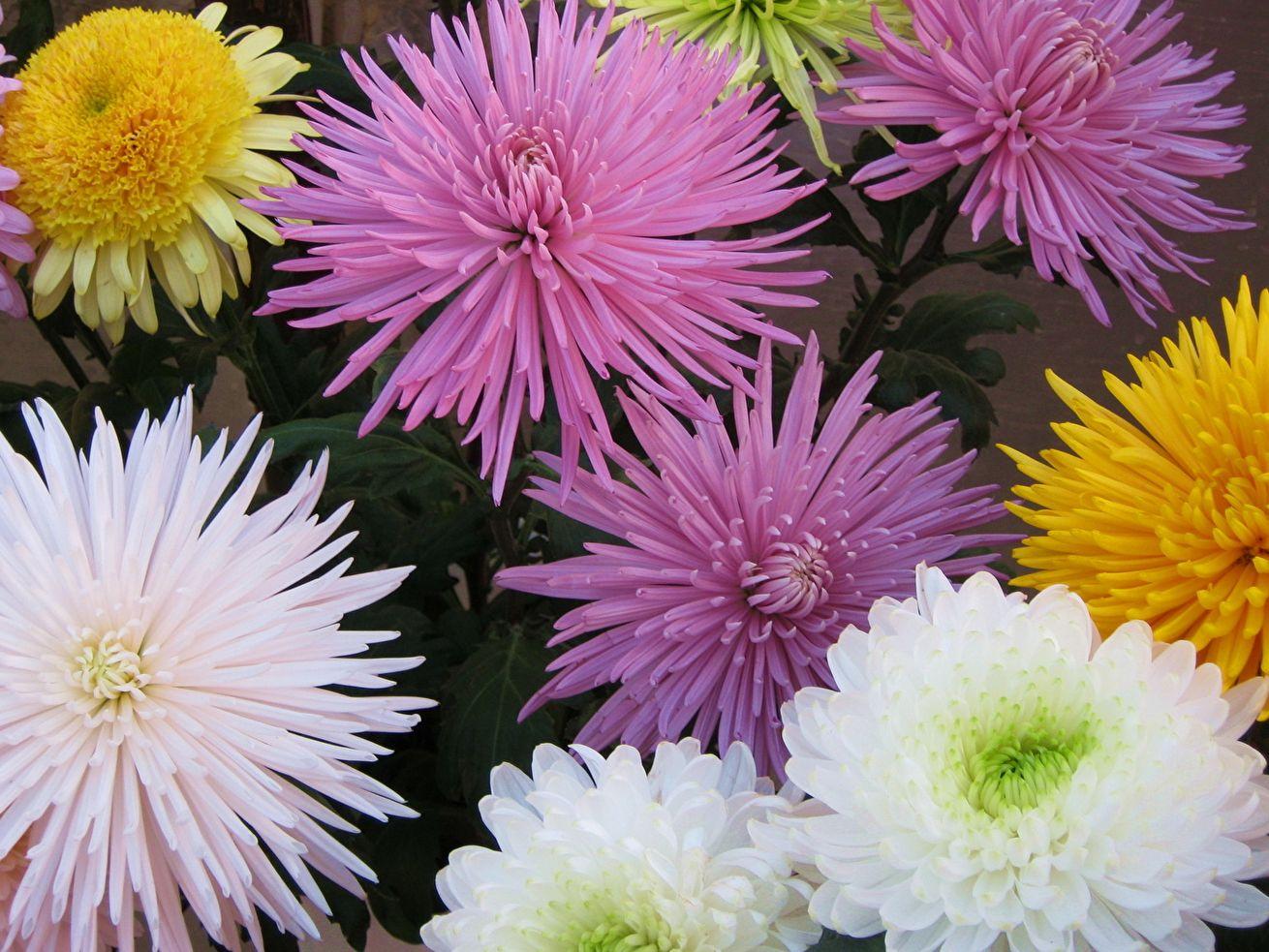 Картинки самых красивых хризантем