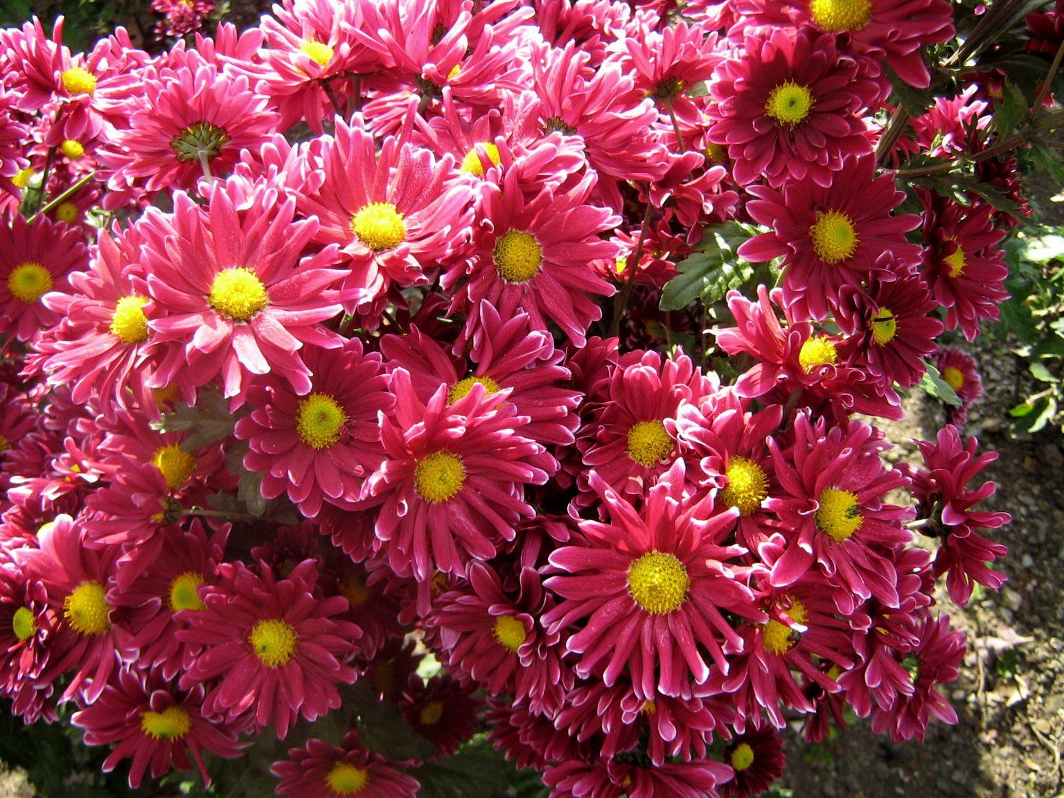 фотографии цветов хризантем выборе стихотворения для