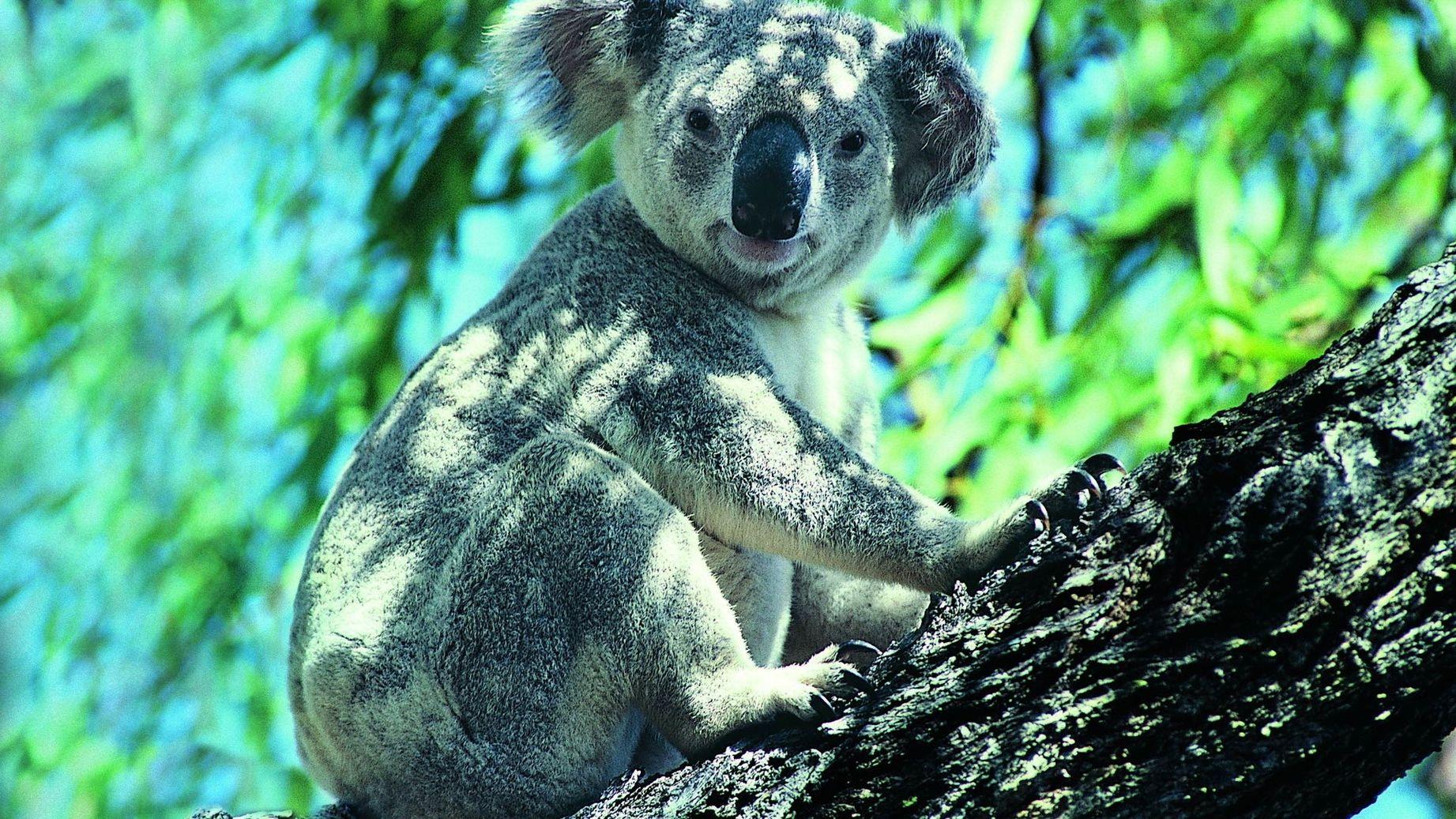 коала животное картинки предлагаем вспомнить отечественных