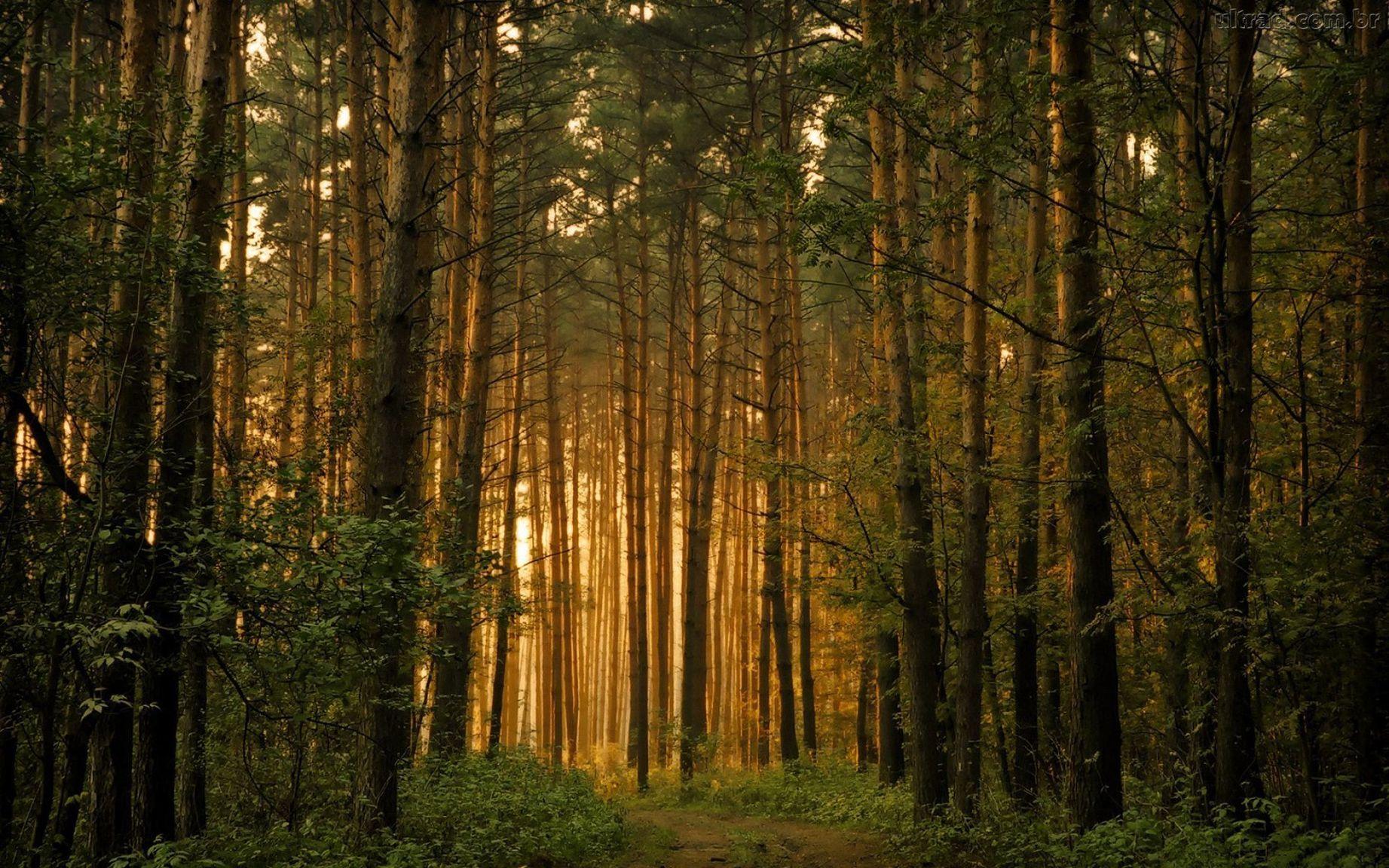 Картинки соснового леса на рабочий стол