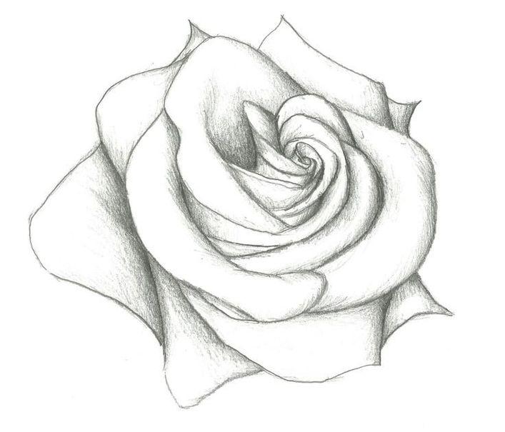 Распустившаяся нарисованная роза картинки